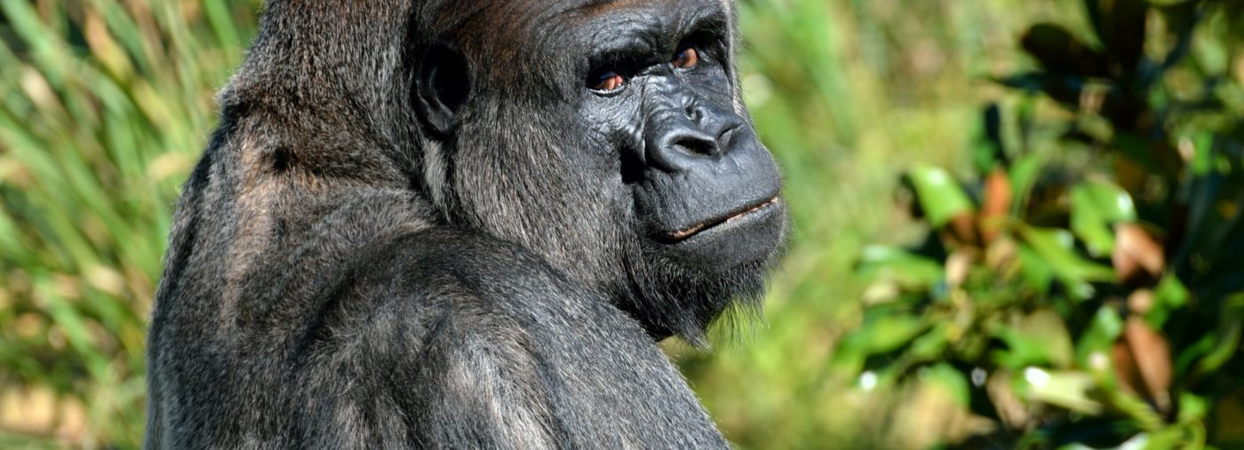 Why A Gorilla Safari Is Still One Of The Best Tours In East Africa